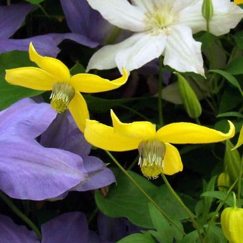 Clematis Helios