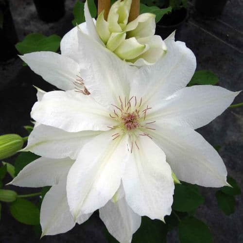Clematis Laura Denny