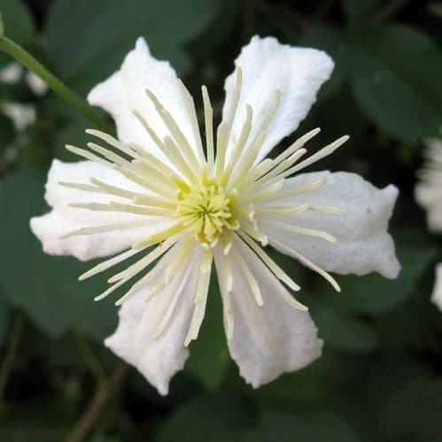 Clematis Paul Farges (Fargesioides, SUMMER SNOW)