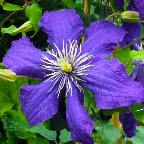 Clematis Rhapsody (Fretwell)
