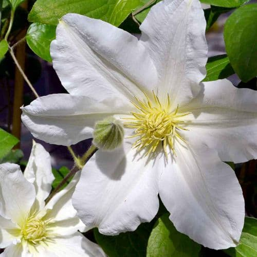 Clematis Royal Wedding