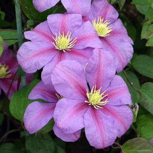 Clematis Twilight