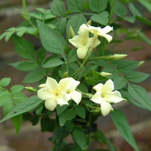 Jasminum officinale Devon Cream (Clotted Cream)