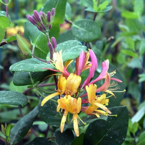Lonicera x heckrottii Gold Flame (American Beauty)