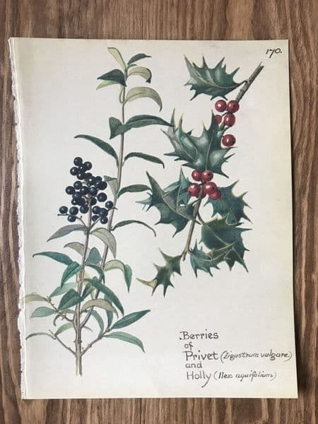 Berries - Country Diary of an Edwardian Lady - Book Page -