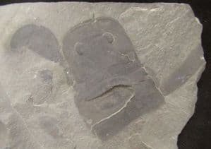 EURYPTERID MOUTS AND BODY PARTS - SILURIAN, NEW YORK STATE.