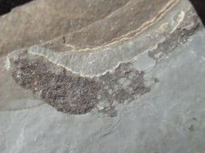 MESACANTHUS - EARLY DEVONIAN, SCOTLAND.